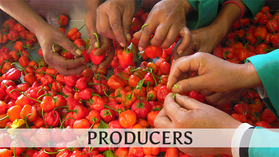 Image of pickers sorting Peppersweet chillies at Fynbos Fine Foods used to illustrate the producers topic.